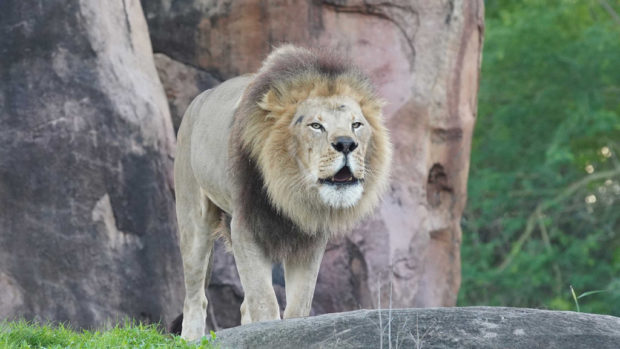 Dakari, the male lion, roars. (Disney)
