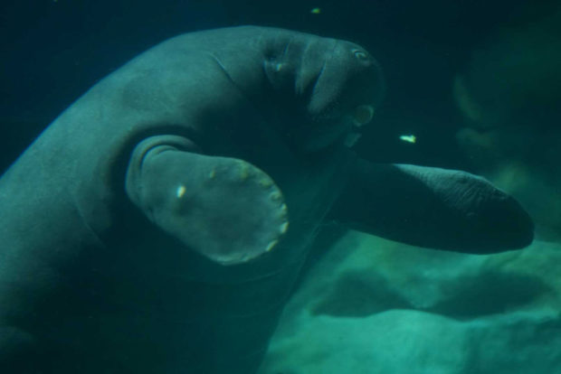 Lou, the West Indian manatee, swimming at the Seas with Nemo and Friends. (Disney)