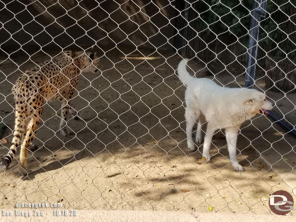 This cheetah had a companion dog with it
