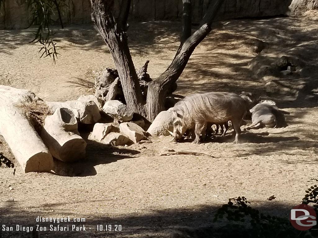 San Diego Zoo Safari Park - Warthog