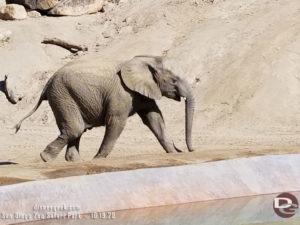 San Diego Zoo Safari Park - Young elephant