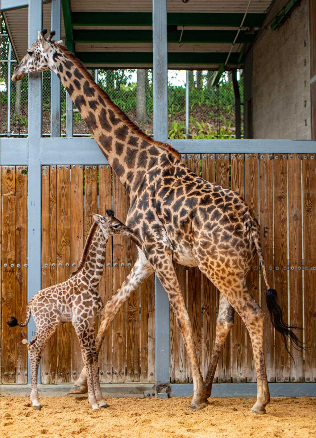 Disney's Animal Kingdom Giraffe Calf