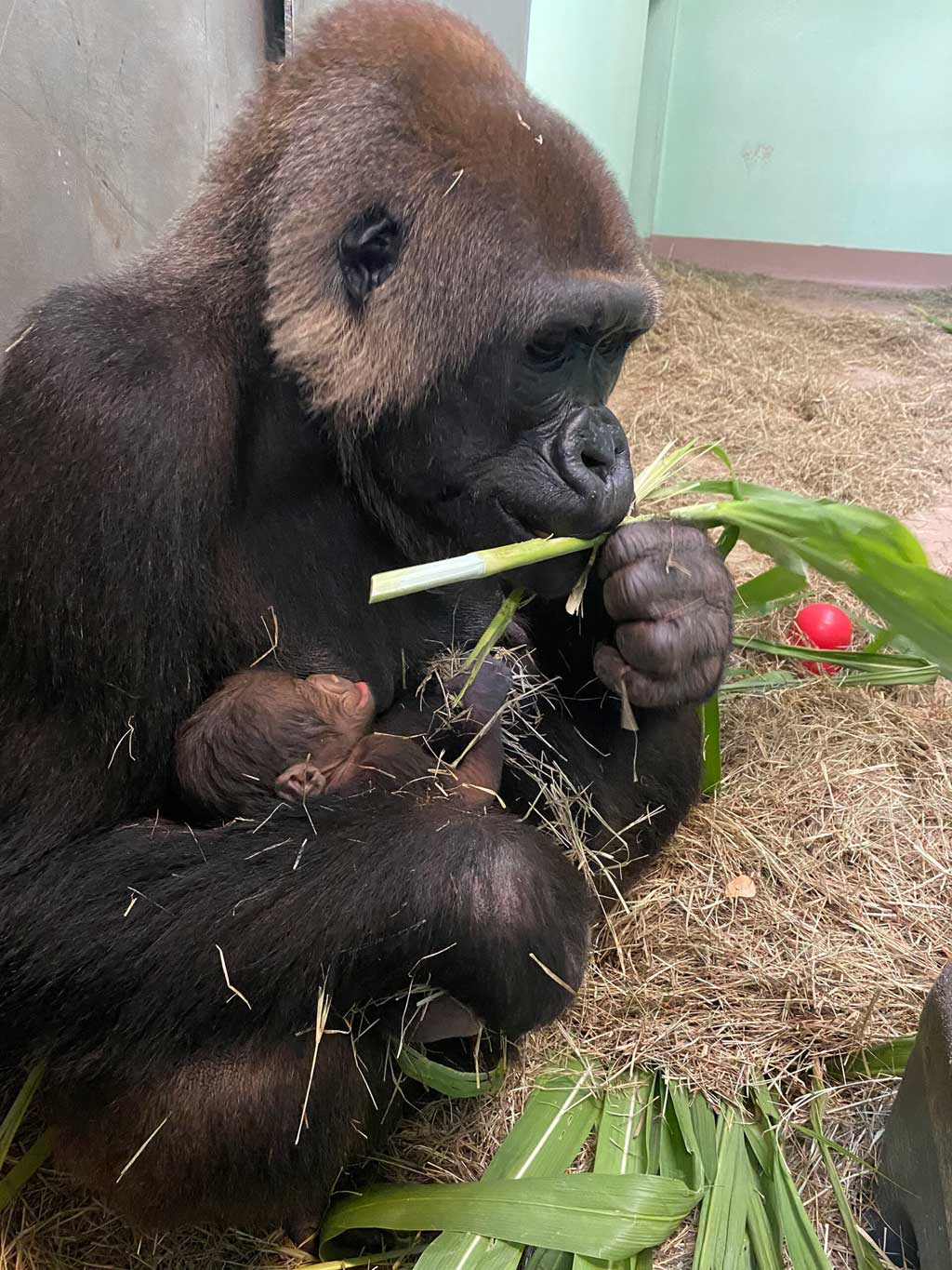 A western lowland gorilla was born July 13, 2021, at Disney's Animal Kingdom Theme Park at Walt Disney World Resort in Lake Buena Vista, Fla. The healthy infant was born backstage to mom Azizi and dad Gino, and may now be spotted inside the park at Gorilla Falls Exploration Trail presented by OFF! Repellents, joining the entire family troop. The new arrival marks 12 gorillas currently in Disney's care. (Disney)